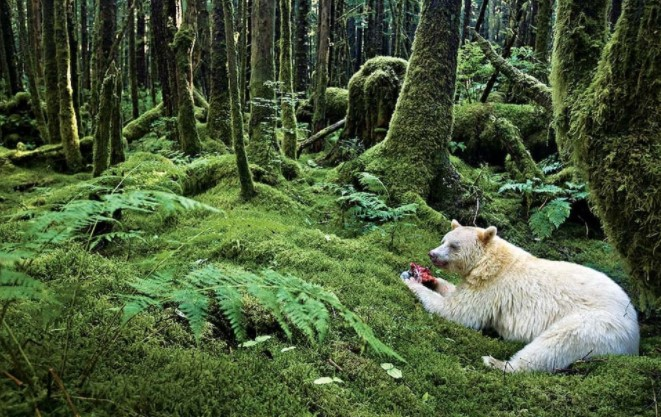 Ursa Major rainforest British Columbia Canada