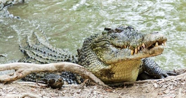 Crocodile En Eau Salee
