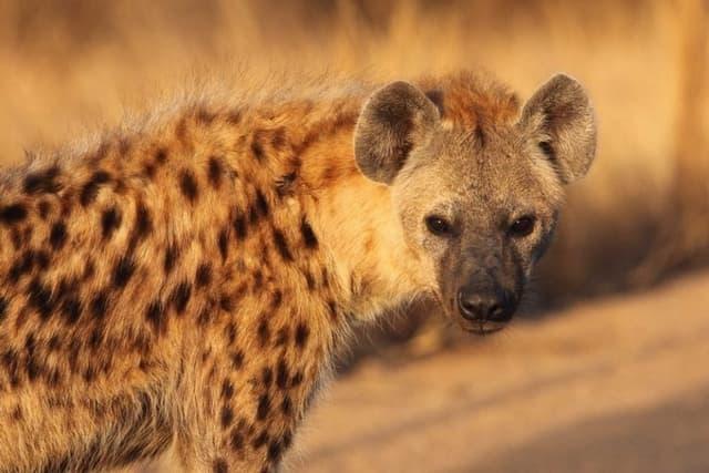 La Hyene