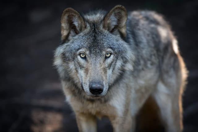 Les Loups Gris Captivants
