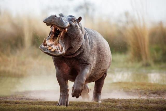 Le Grand Hippopotames