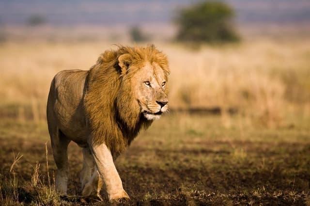 Le Lion D Afrique Sauvage