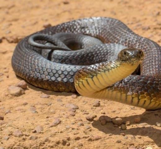 Le Serpent Tigre Connu